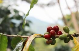 Infocafes-portal especializado en café