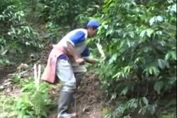 Cusco está perdiendo liderazgo como productor de café y cacao