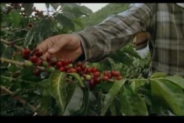 El Café – Cultivo y Recolección