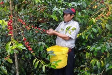Hco-incremento---produccio--n-de-cafe---en-45--617x351