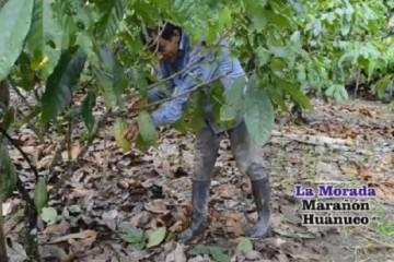 Sistema-agroforestal-Alto-Huallaga-617x351