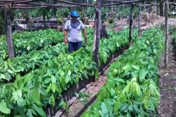 plantulas-de-cacao-listo-para-trasnplante-617x351