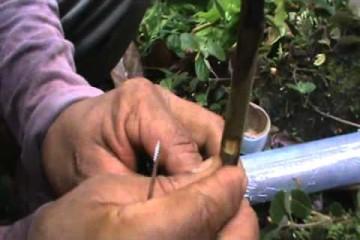 Demostración de injerto de parche o ventanilla en cacao