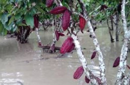 Más de 200 hectáreas de café y cacao pérdidas en Río Tambo