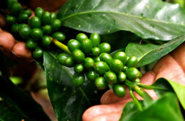 Sierra y Selva Exportadora formará a pequeños productores especializados en café gourmet