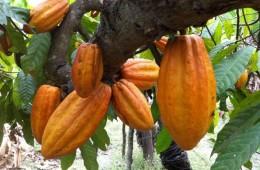 Invertirán más de S/ 2 millones en siembras de cacao