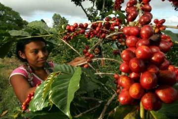 Puno: Cafetaleros afirman que las inversiones realizadas en cultivos de café no tienen resultados