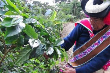 Con más de S/ 4 mllns. ampliarán cultivos de café en provincia puneña de Sandia