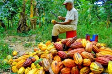 Socializarán enmiendas orgánicas para reducir absorción de cadmio en cultivo de cacao