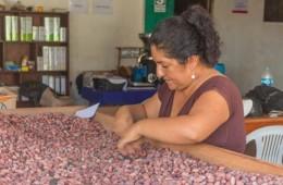 Productores del distrito sanmartinense de Nuevo Progreso, a través de la Cooperativa Central Cacao de Aroma de Tocache, comercializaron unas cinco toneladas de cacao a la empresa Villandina para que dicha mercancía sea exportada.