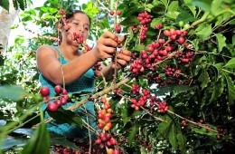 Proyectan un mejor año para la producción y exportación de café peruano