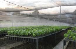 Instalan cerca de 200 hectáreas con café de alta calidad y resistente a la roya