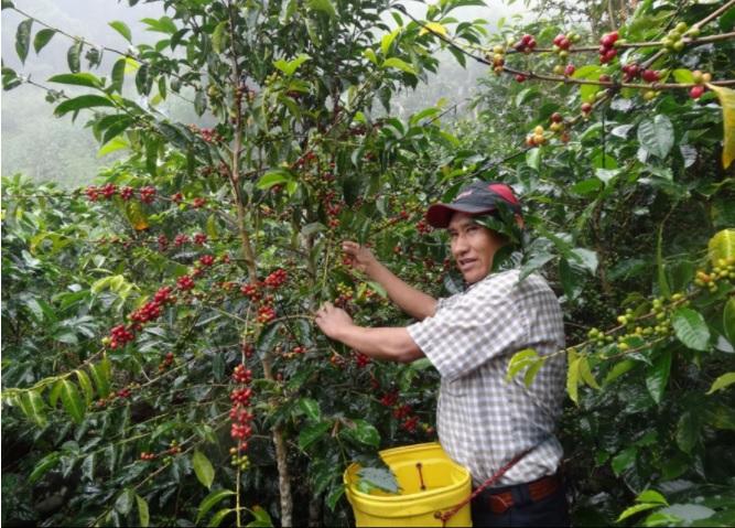 Minagri inicia hoy Plan Nacional de Café para convertir a Perú en potencia mundial
