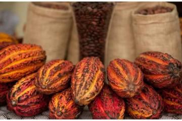 Productores de cacao exportarán con marca colectiva