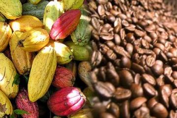 cacao y café