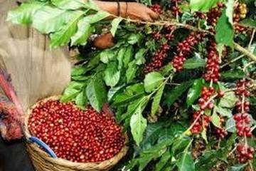 Como se Produce el Cafe Exotico de Altura