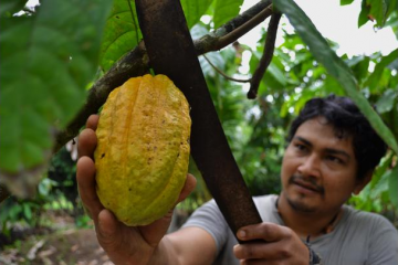 cosechando cacao