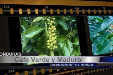 Cafe Verde y Maduro – Siembra Crecimiento y Cultivo