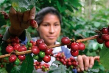 productora recogiendo café