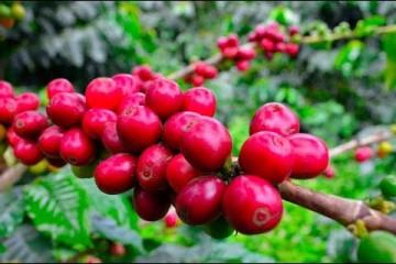 Producción de Café Orgánico de Altura – TvAgro
