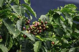 Precios del café tienen en incertidumbre a los cultivadores de Valle y Cauca