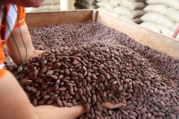 Proyecto beneficiará a 5,000 productores de cacao de San Martín
