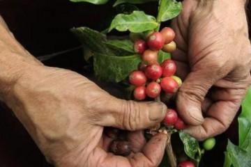 Colombia renovará 50.000 hectáreas de cafetales