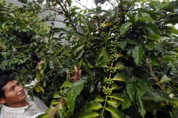 Los últimos reductos del café orgánico en la selva de Puno