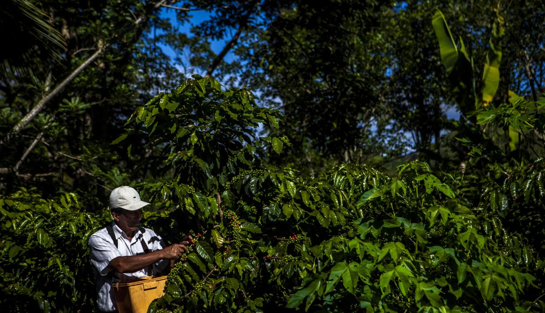 Crean clúster del café en la selva central