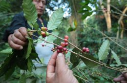 Piura: Producción de café superaría los 64 mil quintales este año