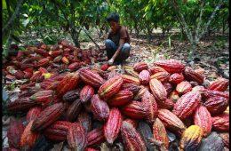 El cacao está sacando de la pobreza a los agricultores de la Amazonía