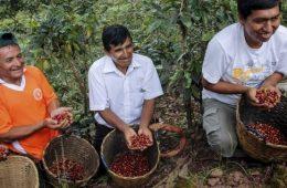 Minagri renovó 39,314 hectáreas de café a agosto del 2018