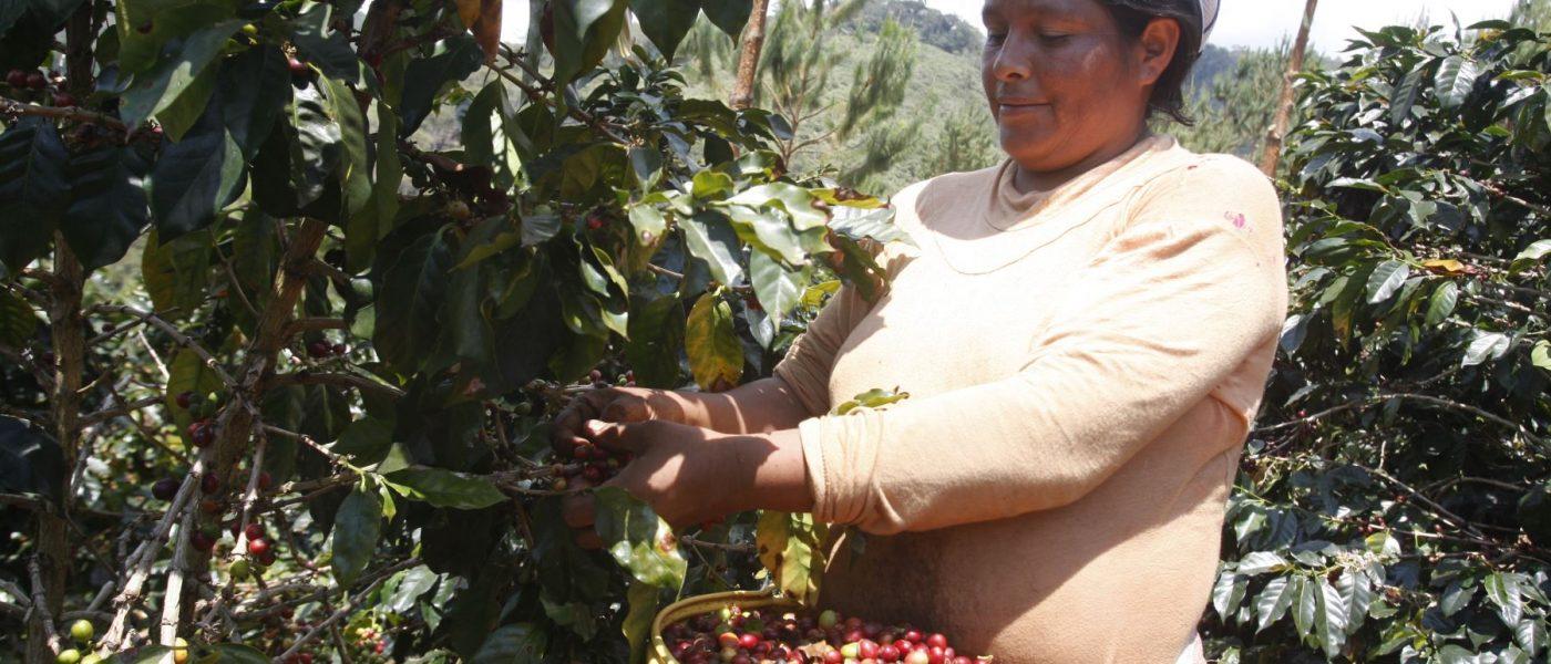 Minagri busca aumentar la competitividad del sector cafetalero