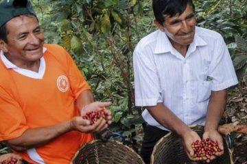 Productores cafetaleros migran a zonas de coca por mayores salarios, según la JNC